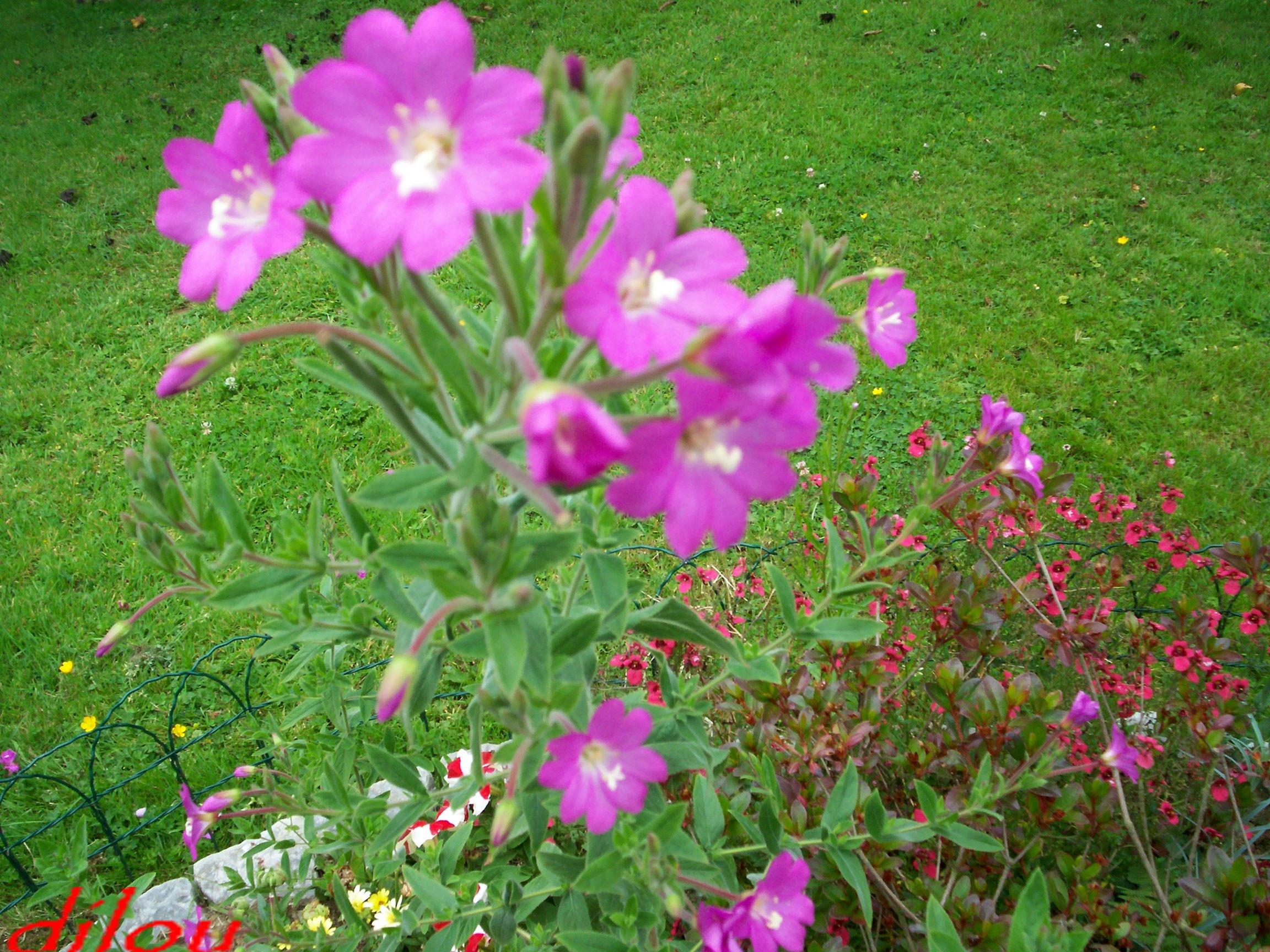 Fleurs sauvages du jardin for Fleurs du jardin