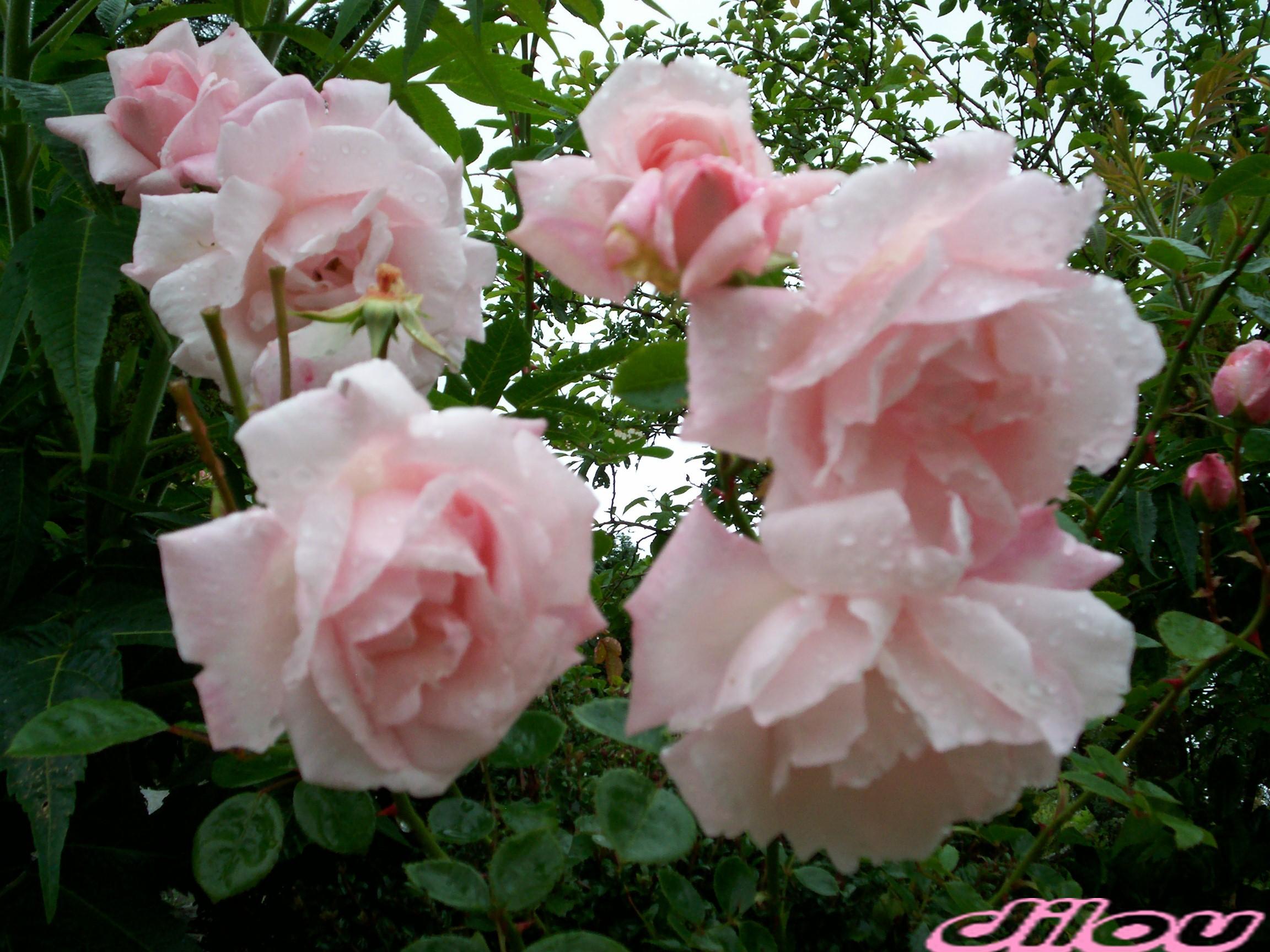 Ces roses de mon jardin pour vous for Jardin pour vous